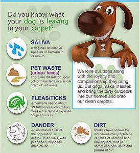 Chem-Dry clean for pets and carpet